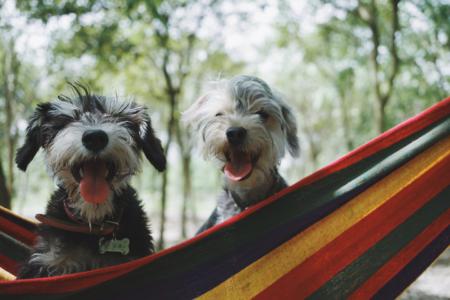 two dogs in hammock